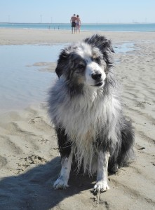 """Dusty"" Mini-Australian Shepherd hat seinen Urlaub auch genossen"