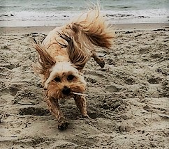 """Hobbes"" Havaneser mit mächtig Spaß am Strand"