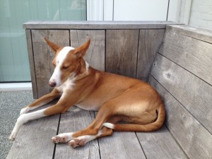 """Jago"" Podenco-Mix relaxed"
