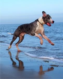 """""""Krümel"""" Deutsch Dogge hat viel Spaß am Strand"""
