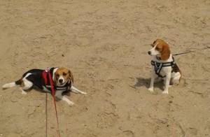 """""""Laika und Yoda""""- Beagle"""