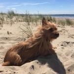 Oscar - Australian Terrier
