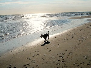 """Willy"" Airedale-Terrier am Strand"
